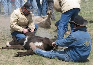 Spring Calf Branding Scb Citizen