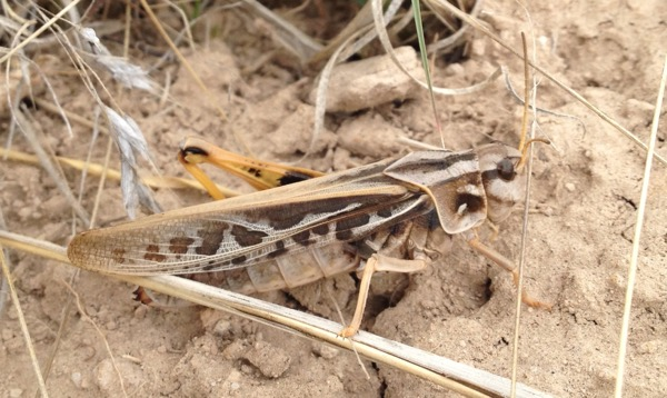 amputee grasshopper