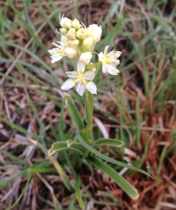 "A plant with a B. A. name - death camas (Zigadenus venenosus) - is quite appropriate. According to a USDA plant guide, ""Eating one or two bulbs is enough to cause severe illness in children, and 4 or 5 can cause death depending on the species."""