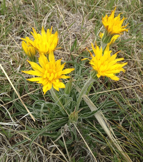 False dandelion, Nothocalais cuspidata.