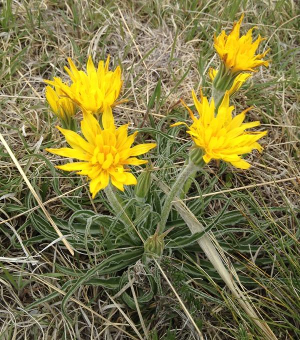 False dandelion, Nothocalais cuspidata.