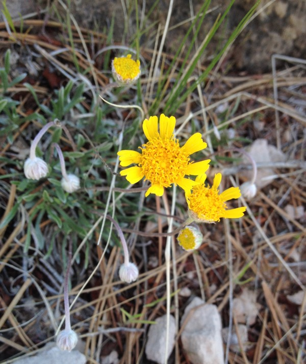 Stemless hymenoxys, fully extended at a later date. See? Yellow petals.
