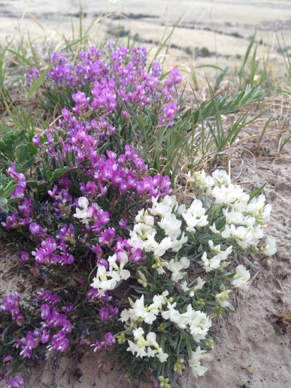 And my favorite of the day - a path of tufted milkvetch, Astragalus spatulatus, with both the normal purple color and a white variety growing side-by-side.