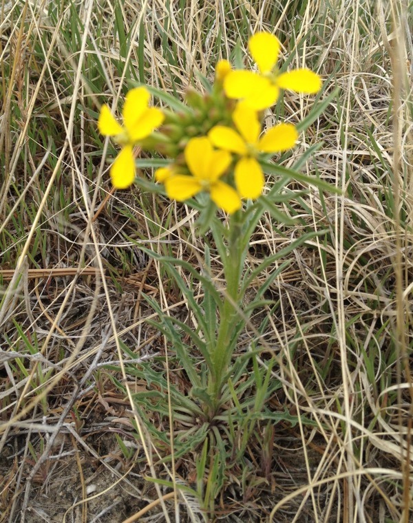 An out-of-focus (darned cellphone camera) western wallflower, Erysimum asperum