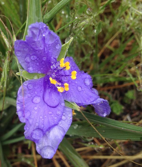 Spiderwort, Tradescantia occidentalis