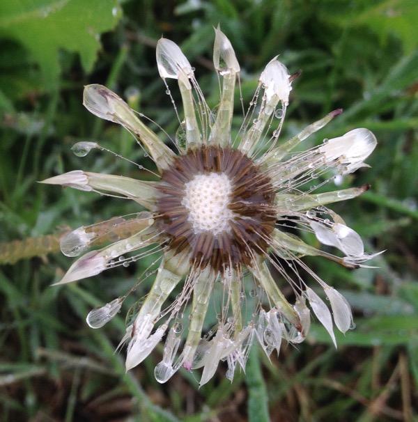 A wet dandelion seed tuft