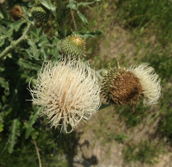 The platte thistle - this one's a native plant, and important for pollinator species, judging by the number of insects I often see on the flowers.