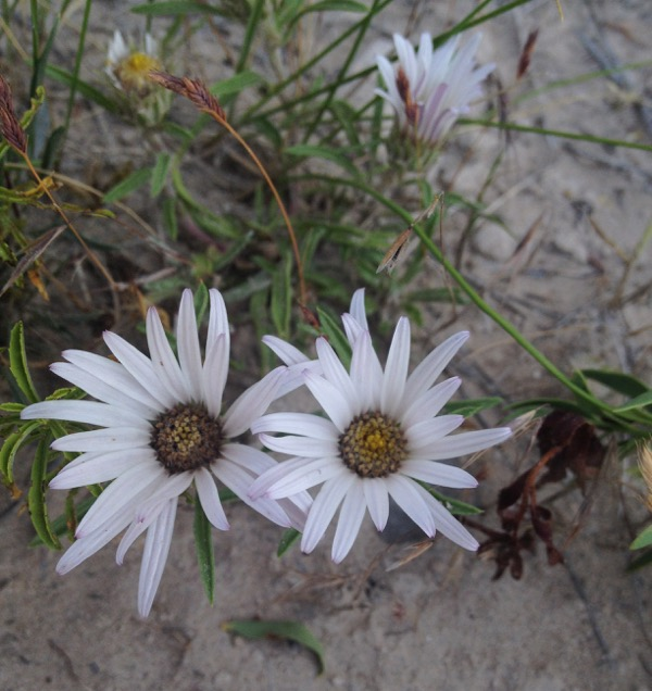 A late-blooming large-flowered townsendia.