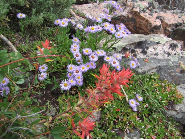 The place was lousy with asters, with a few Indian paintbrush thrown in for variety.