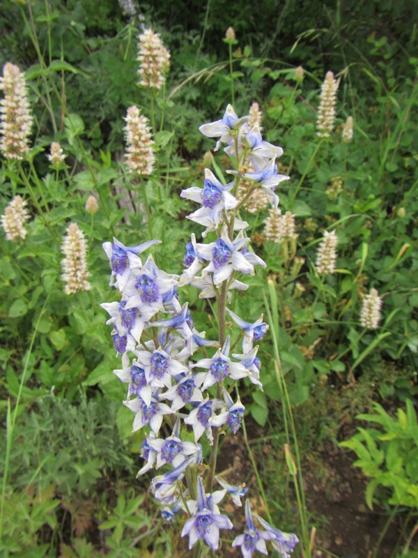 There was a good amount of larkspur blooming as well, with some giant hyssop blooming here in the background.