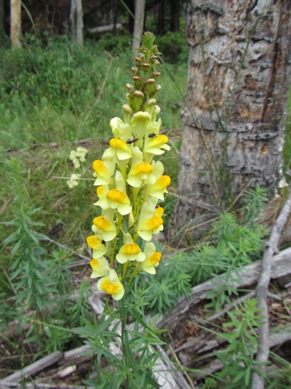 The yellow toadflax was pretty (AKA butter-n-eggs), but I later found out it's a non-native invasive plant that's escaped from domestic gardens.