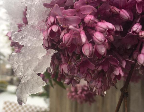 snow on lilacs