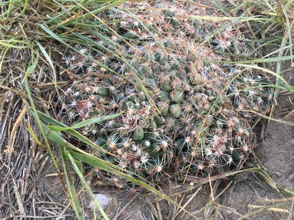 wee cactus